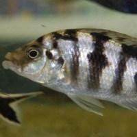 Malomo Female