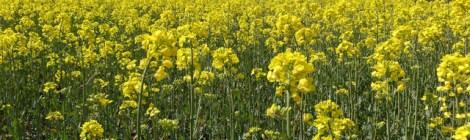 Koolveld van Fipse in bloei