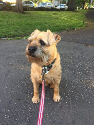 A Border Terrier on a Lead