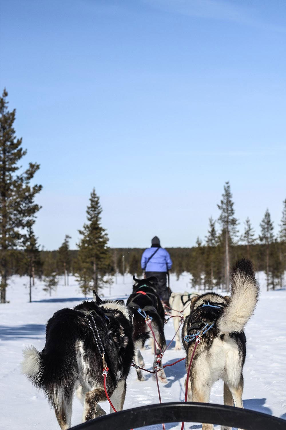Winter in Lapland - there is simply nothing better than a husky ride and seeing the Aurora. That is of course unless you get a puppy named after you!