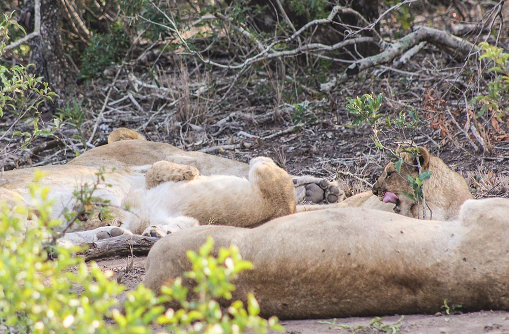 Looking for one of the best game reserves in KZN, South Africa? Look no further and follow me to Phinda for a luxury safari adventure in Africa - lion cubs and safari G&T included.