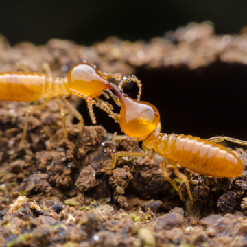 can termites return