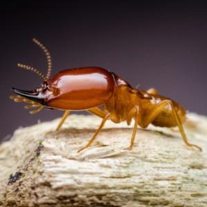 dangers of super termites