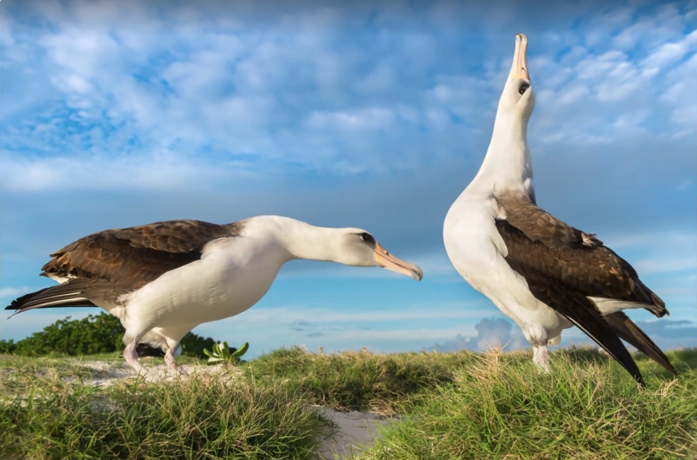 Gooney Birds