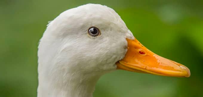 miedo a los patos