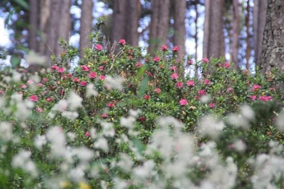 rhododendron, miel rhododendron, miel comapedrosa, miel andorre, miel pyrénées