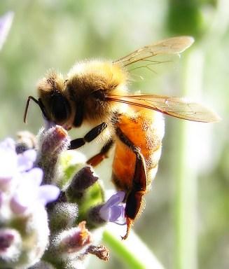 lavande abeille