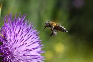 Las abejas comen polen y esta va impregnada de polen en una flor morada