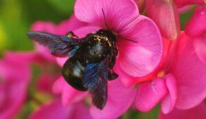 otras abejas. La interesante Osmia calaminthae pasa desapercibida entre las flores