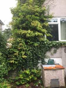 Ivy Removal Before 2