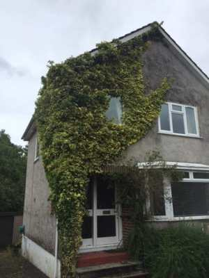 Ivy Removal Before