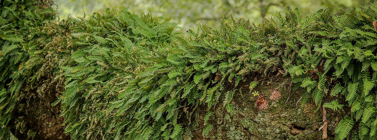 Resurrection Fern growing as an epiphyte on a tree limb.