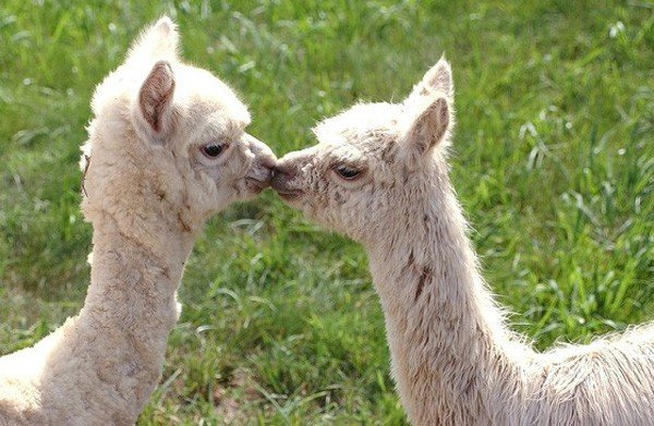 La tosatura dell'alpaca