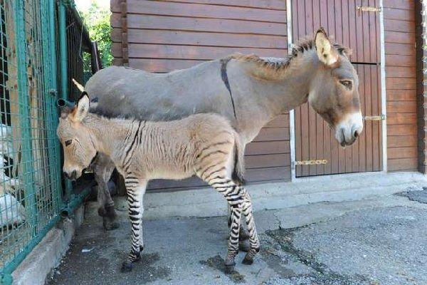 Zonkey zebra asino