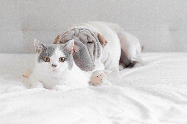 Shar Pei Paddington e Butler the Cats