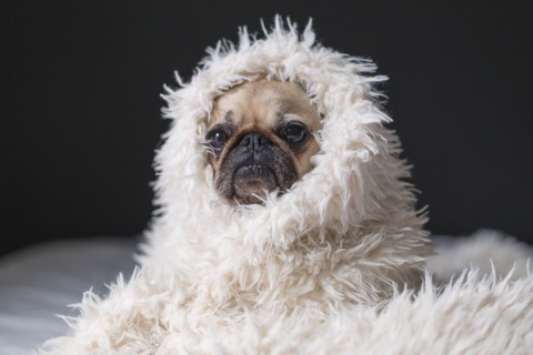 cute dog in wrapped in a cozy blanket
