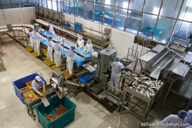 Processing sockeye salmon at the Vityaz-Avto plant