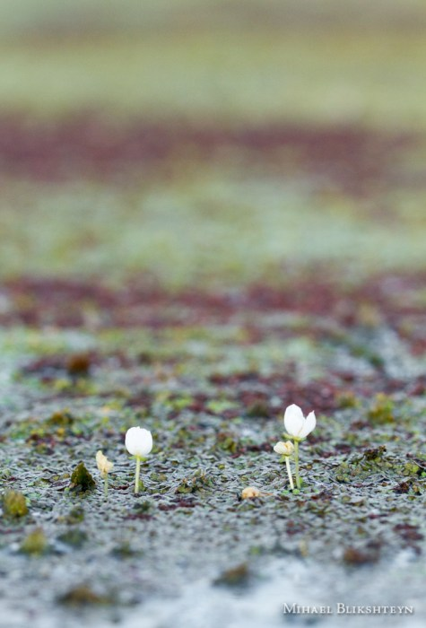 Tiny white flowers in a freshwater pond at sunrise