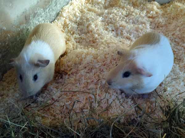 Amy ja Adele heinän äärellä.
