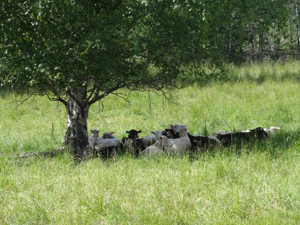 Kirkon pihalla oli lampaita sähköaidan takana.