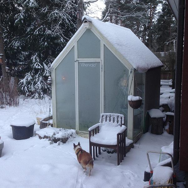 Tää nyt ei liity lintuihin, mutta kasvihuone on melko jäinen koppi tällä hetkellä- Siellä on kaksi jouluvaloakin sisällä, mutta ne ei ikkunan läpi paljoakaan enää näy. Kunnes pakkaset loppuu ensviikolla... :(