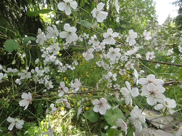 Kirsikkapuu on täynnä kukkia! :)