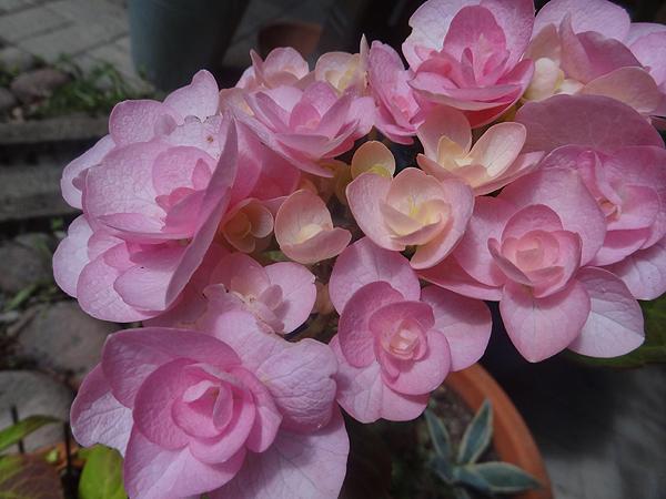 Meiän hassu hortensia kukkii hienosti. Kukan runko on säälittävä, mutta hienoja nää kukat on silti!