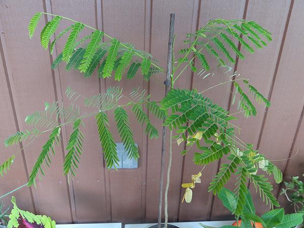Meillä on tällä hetkellä kaksi jämeräjätkää (jotain akaasiaa), tämä on isompi taimi. Siemenestä kasvatettu kuinkas muutenkaan. :)