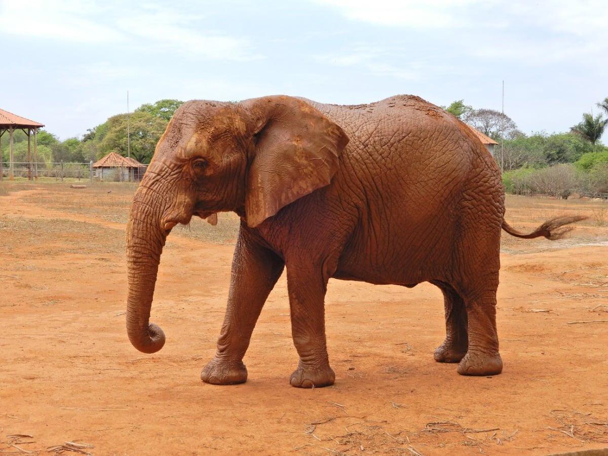 Afrikaanse Olifant-Elefante Africano