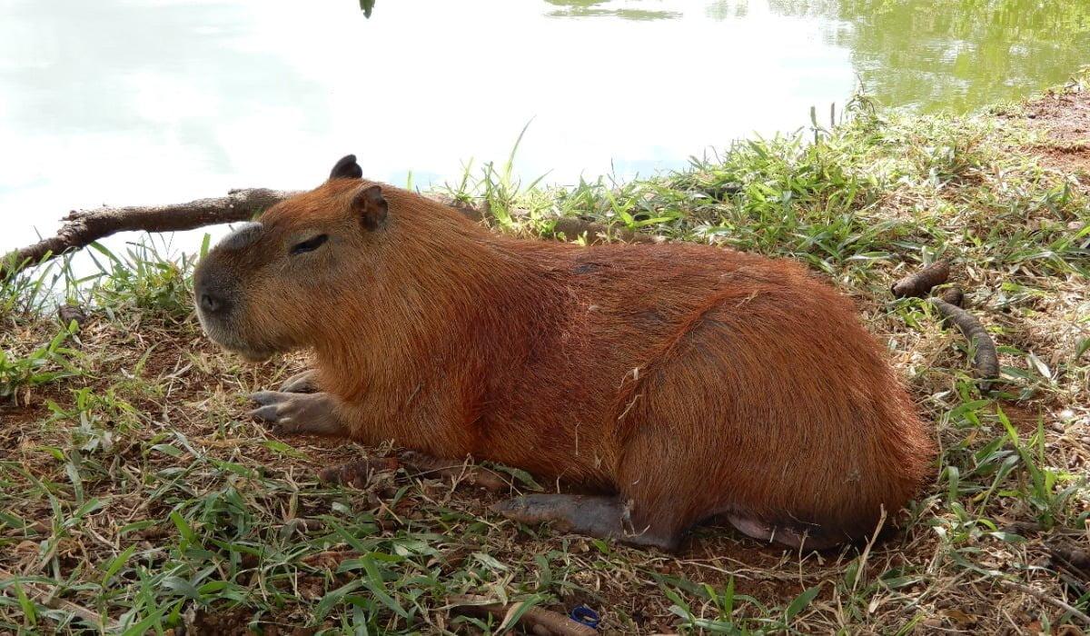 Capibara Capivara