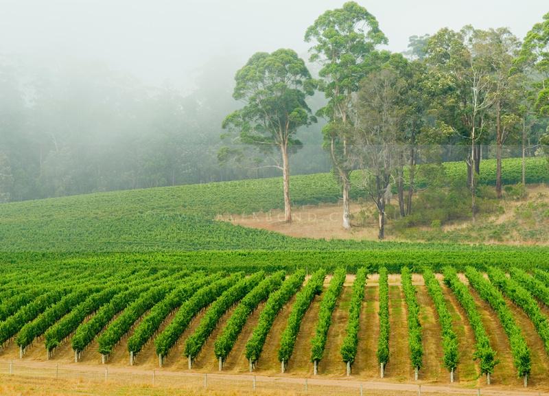 cool climate wijngaard in West Australië