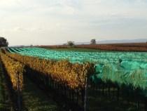 netten in wijngaard