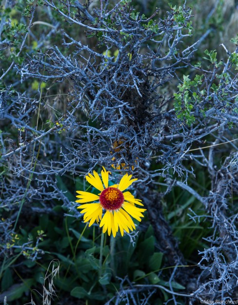 Fleabane in the briar patch