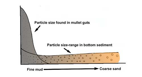 Selection of fine particles by American grey mullet. Fine mud has the greatest food value.