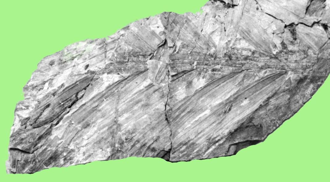 Fossil palm from New Zealand Miocene Manuherikia Group