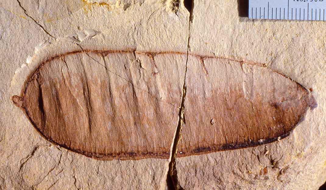 Fossil pea pod (legume) from the Miocene Miocene Manuherikia Group of New Zealand