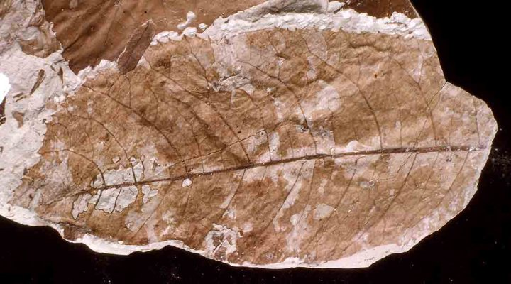 Large (120 mm long) Miocene leaf fossil, Bannockburn, New Zealand.