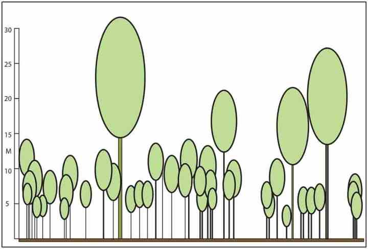 A reconstructed profile of the Jurassic Curio Bay fossil forest, adapted from Pole (1999) and based on the Bunya Mountains tree trunk diameter versus height curve. Using the New Guinea tree curve would 'stretch' the profile upwards such that the tallest trees were around 35 m.