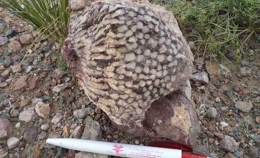 A fossil coral-head, next to some of the few green plants in this barren area.