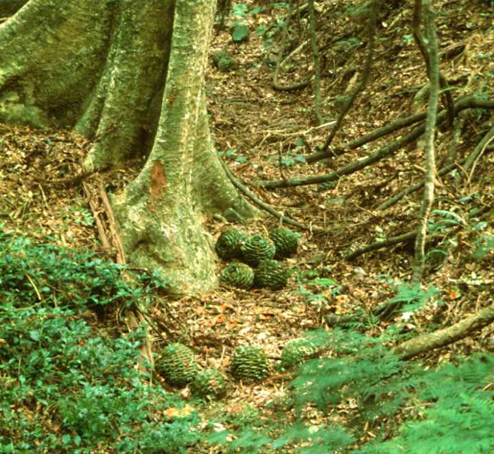 Mature bunya cones that have crashed tens of meters down from the forest canopy, and rolled into a gully.