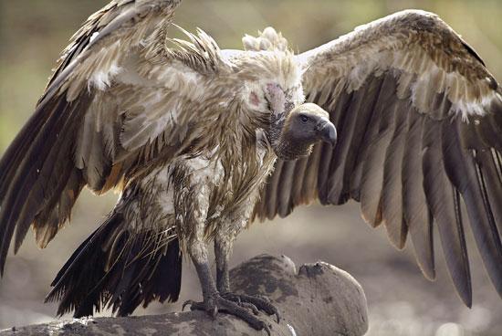 vulture-spread-wings