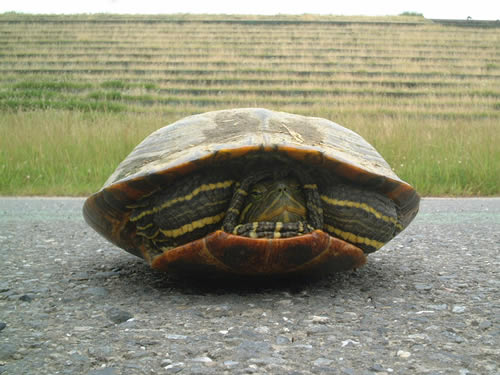 turtle hiding in shell