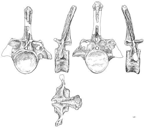 Apatosaurus ajax NSMT-PV 20375, first caudal