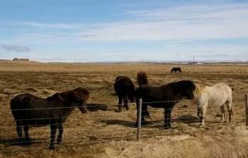 Cavalos Islandeses, by Mikix