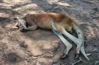 Cangurus na Australia por mikix