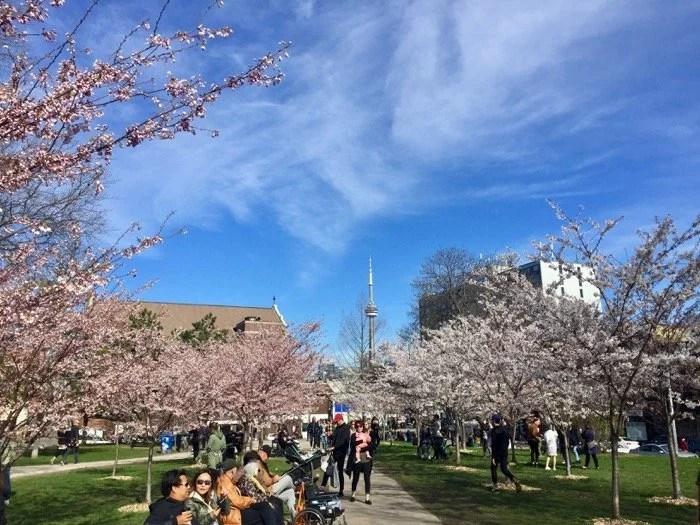 Cerejeiras no Trinity Bellwoods Park