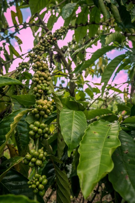Frodige kaffeplanter