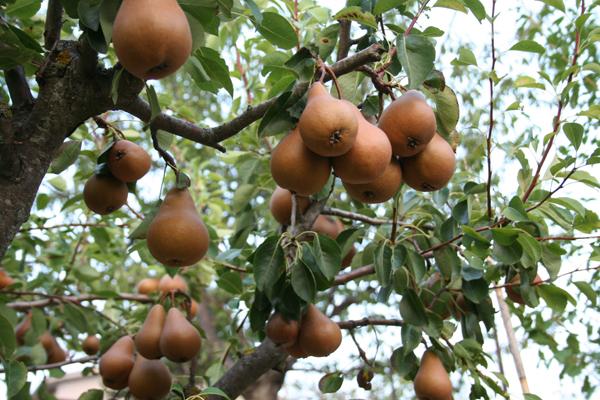 pere-albero