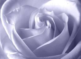rosa stupenda