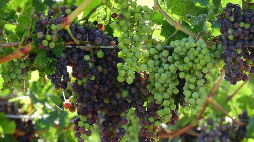 grapevine-2757946_1920